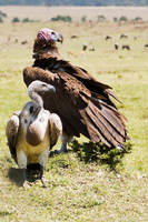 White-backed Vulture and Lappet-Face Vulture
