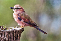 Young Purple-breasted Roller