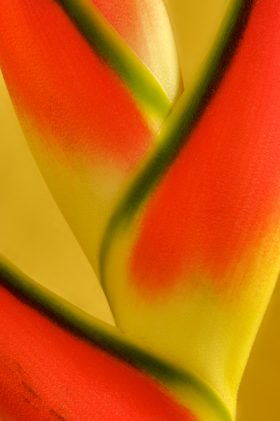 Lobster Claws -Heliconia