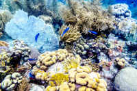 Sea Fan Coral and Sea Rod Coral and Blue Chromis fish