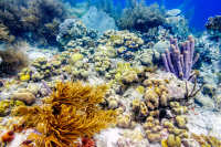 Sea Fan Corals, Sea Rod Corals and Stovepipe sponge