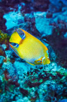 Queen Angelfish (Adult)