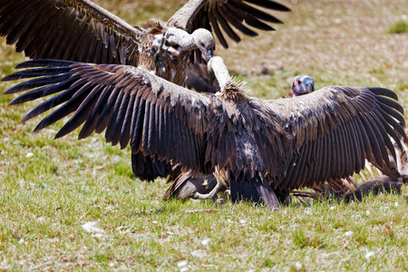 White-Backed Vultures fighting