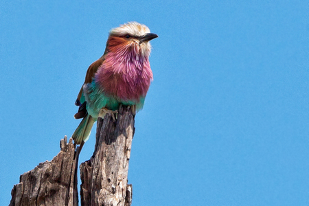 Purple-breasted Roller