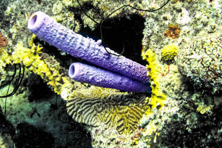 Stove Pipe Sponge (Aplysina archeri)